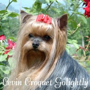 Cevin-Croquet-Golightly